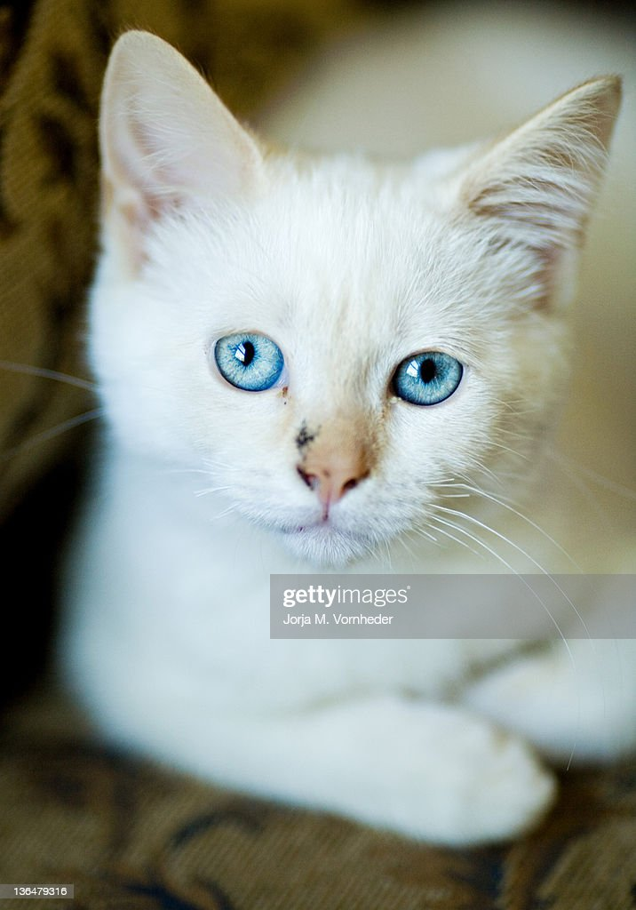 White kitty : Stock Photo