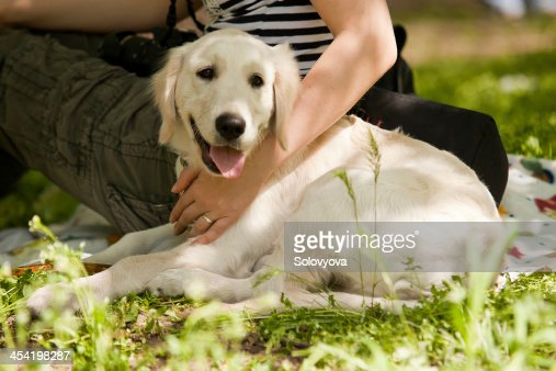 Blanco Perro labrador : Foto de stock