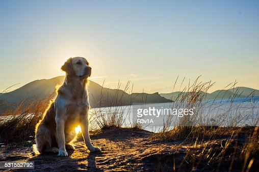 White Labrador : Stock Photo