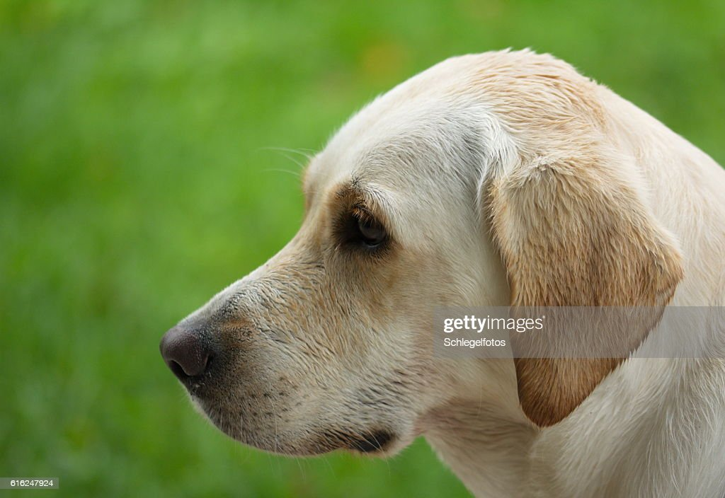 white labrador portrait nature : Stock Photo