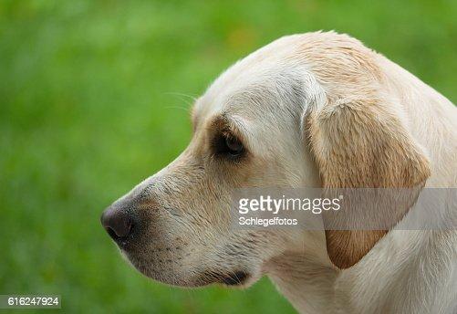 white labrador portrait nature : Foto de stock