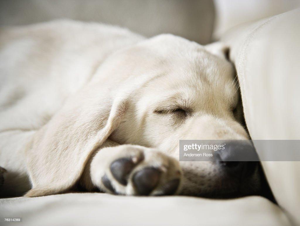 White labrador puppy sleeping on sofa, close-up : Stock Photo