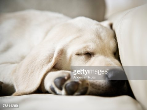 White labrador puppy sleeping on sofa, close-up : ストックフォト