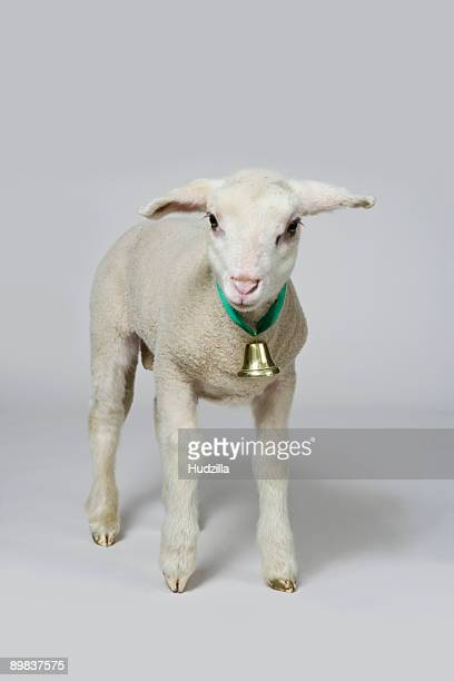 A white lamb, studio shot