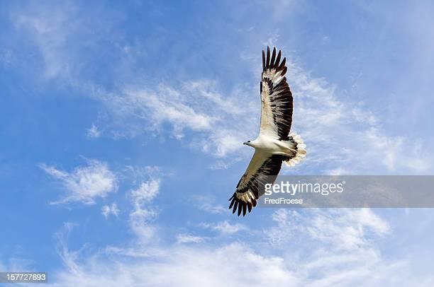White Langkawi sea eagle, Malaysia
