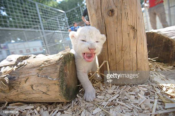 A white lion baby is pictured in its enclosure on July 17 2012 in Kempten southern Germany Lion mother Princess gave birth to six white lion cubs on...