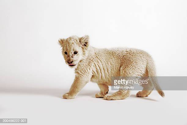 White lion cub (Panthera leo krugeri) against white background