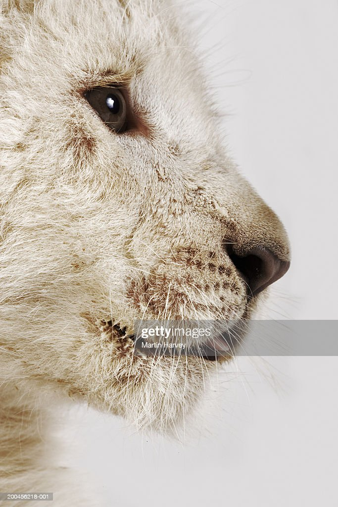 White lion cub (Panthera leo krugeri), close-up : Stock Photo