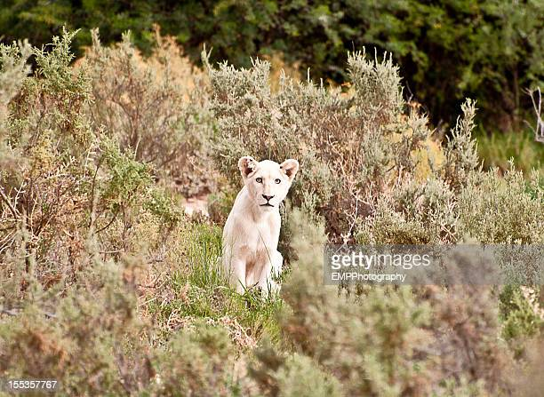 White Lion Cub In the Wild of South Africa