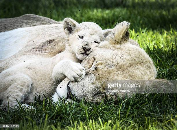 White lion cub lies down beside his mother at the Lion Park situated 35 km away from Johannesburg South Africa on November 20 2014 The Lion Park...