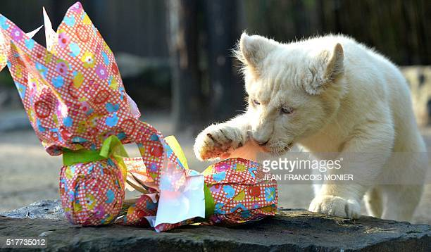 A white lion cub opens a wrapped package on Easter at the zoo in La Fleche northwestern France on march 27 2016 / AFP / JEANFRANCOIS MONIER