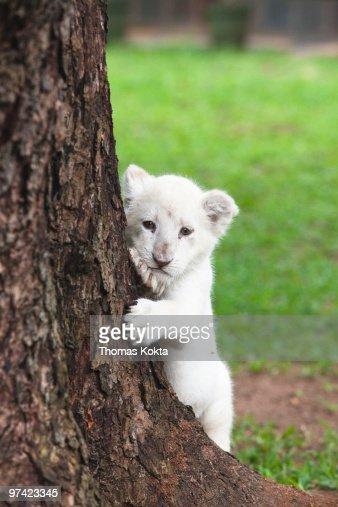 White lion cub (Panthera leo) : Stock Photo