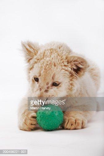White lion cub (Panthera leo krugeri) playing with ball : Foto stock