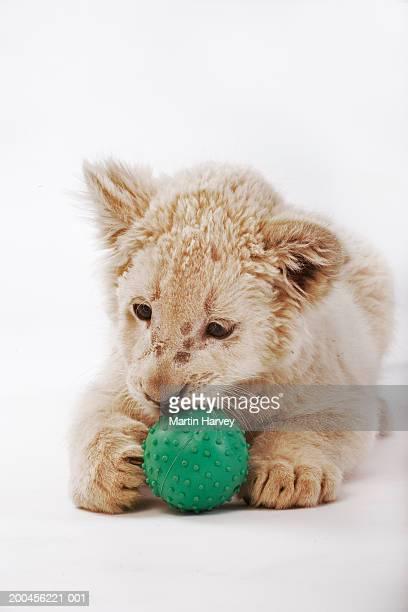 White lion cub (Panthera leo krugeri) playing with ball