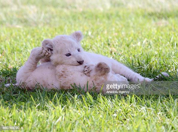 White lion cub plays with another baby white lion at the Lion Park situated 35 km away from Johannesburg South Africa on November 20 2014 The Lion...