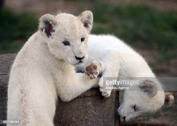 A white lion cub plays with another baby white lion at the Lion Park situated 35 km away from Johannesburg South Africa on November 20 2014 The Lion...
