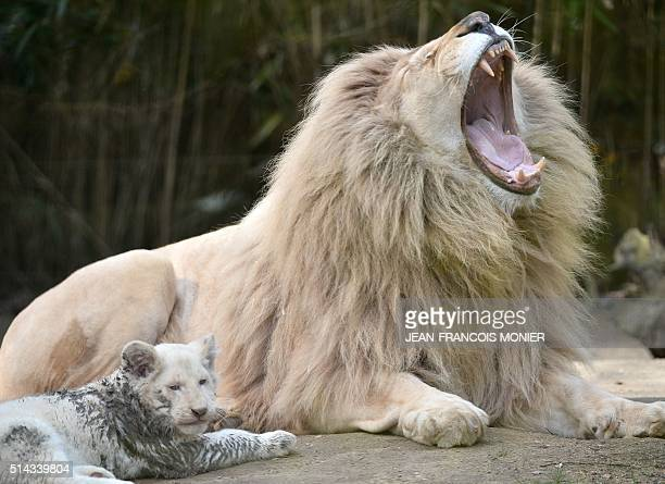 A white lion cub threemonths old is pictured next to his father Yabu at the zoo in La Fleche northwestern France on march 8 2016 / AFP / JEANFRANCOIS...