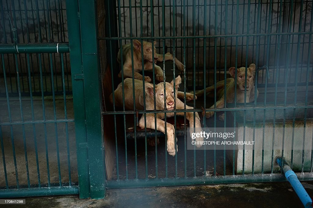 White lion cubs lie in a cage at a house where more than 200 live wild animals including 14 white lions were discovered last week, on the outskirts of Bangkok on June 19, 2013. Police said the lions were believed to have been brought into the country using permits for sales to zoos, but instead offered to private buyers. Thailand has a reputation as a hub of international wildlife smuggling to feed strong demand in Asia for unusual pets and traditional medicines made from animal parts. AFP PHOTO / Christophe ARCHAMBAULT