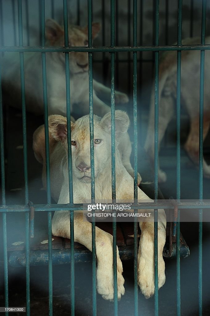 White lion cubs sit in a cage at a house where more than 200 live wild animals including 14 white lions were discovered last week, on the outskirts of Bangkok on June 19, 2013. Police said the lions were believed to have been brought into the country using permits for sales to zoos, but instead offered to private buyers. Thailand has a reputation as a hub of international wildlife smuggling to feed strong demand in Asia for unusual pets and traditional medicines made from animal parts. AFP PHOTO/Christophe ARCHAMBAULT