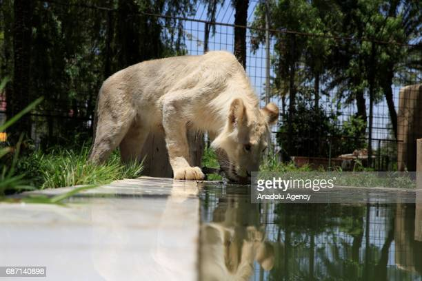 A white lion drinks water at Zevra Park's Zoo in Baghdad Iraq on May 22 2017 It is reported that the 10monthold white lion is one of the 30 white...