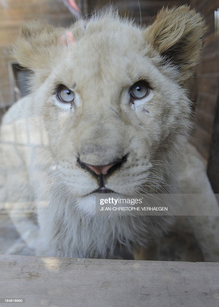 A white lion female cub sits on March 25, 2013 at a zoological park the eastern French city of Amneville. Three white lions, a 5-year-old male, a 4-year-old female and a female cub born in July 2012, arrived at the zoo a week ago.