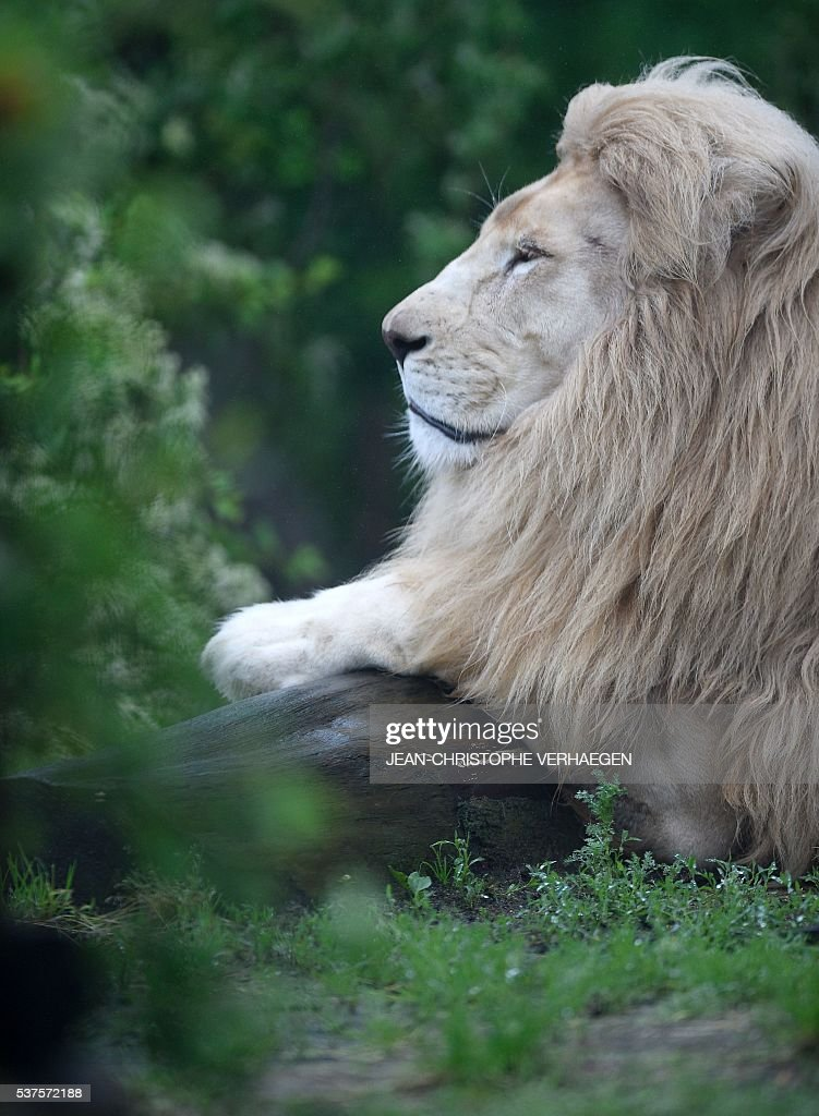 A white lion is pictured on June 2 2016 at the zoological park of Amneville western France / AFP / JEANCHRISTOPHE VERHAEGEN