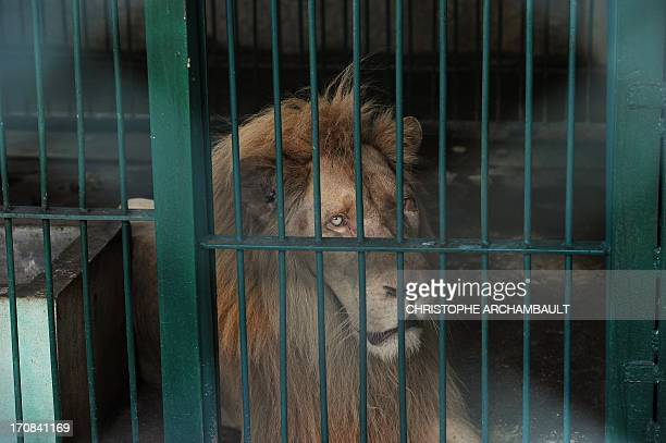 A white lion lies in a cage at a house where more than 200 live wild animals including 14 white lions were discovered last week on the outskirts of...