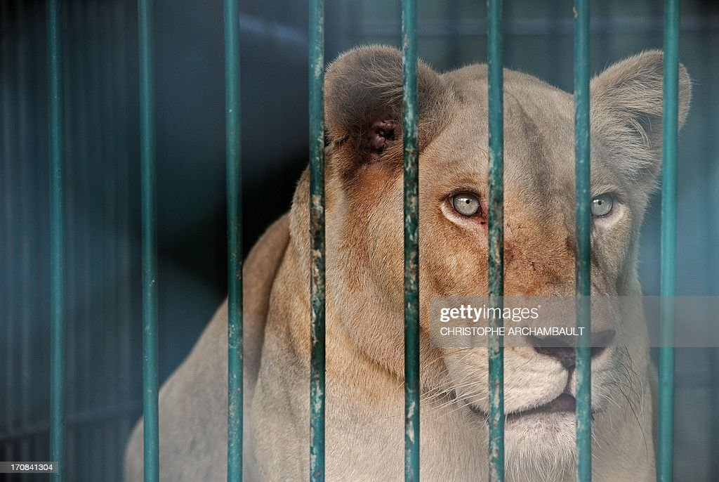 A white lion lies in a cage at a house where more than 200 live wild animals including 14 white lions were discovered last week, on the outskirts of Bangkok on June 19, 2013. Police said the lions were believed to have been brought into the country using permits for sales to zoos, but instead offered to private buyers. Thailand has a reputation as a hub of international wildlife smuggling to feed strong demand in Asia for unusual pets and traditional medicines made from animal parts. AFP PHOTO / Christophe ARCHAMBAULT