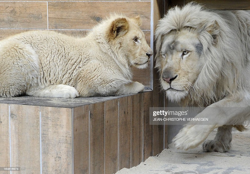 A white lion male (R) and a female cub are presented on March 25, 2013 at a zoological park the eastern French city of Amneville. Three white lions, a 5-year-old male, a 4-year-old female and a female cub born in July 2012, arrived at the zoo a week ago.