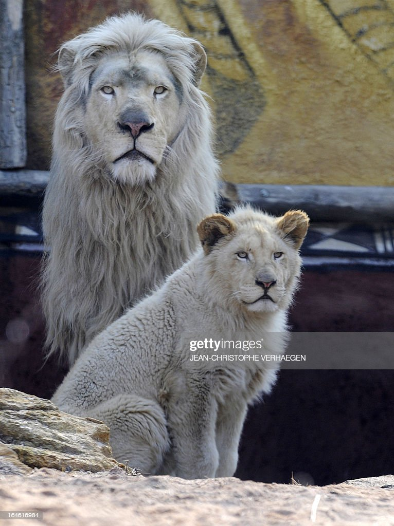 A white lion male (L) and a female cub are presented on March 25, 2013 at a zoological park the eastern French city of Amneville. Three white lions, a 5-year-old male, a 4-year-old female and a female cub born in July 2012, arrived at the zoo a week ago. AFP PHOTO / JEAN-CHRISTOPHE VERHAEGEN