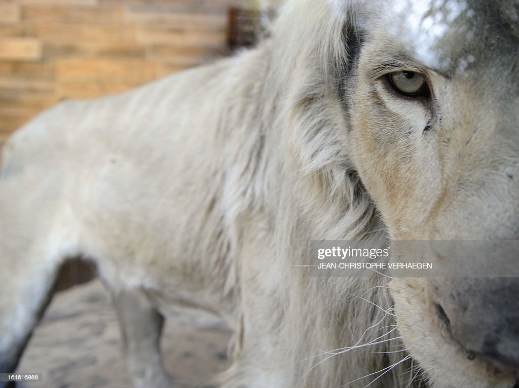 A white lion male sits on March 25, 2013 at a zoological park the eastern French city of Amneville. Three white lions, a 5-year-old male, a 4-year-old female and a female cub born in July 2012, arrived at the zoo a week ago.