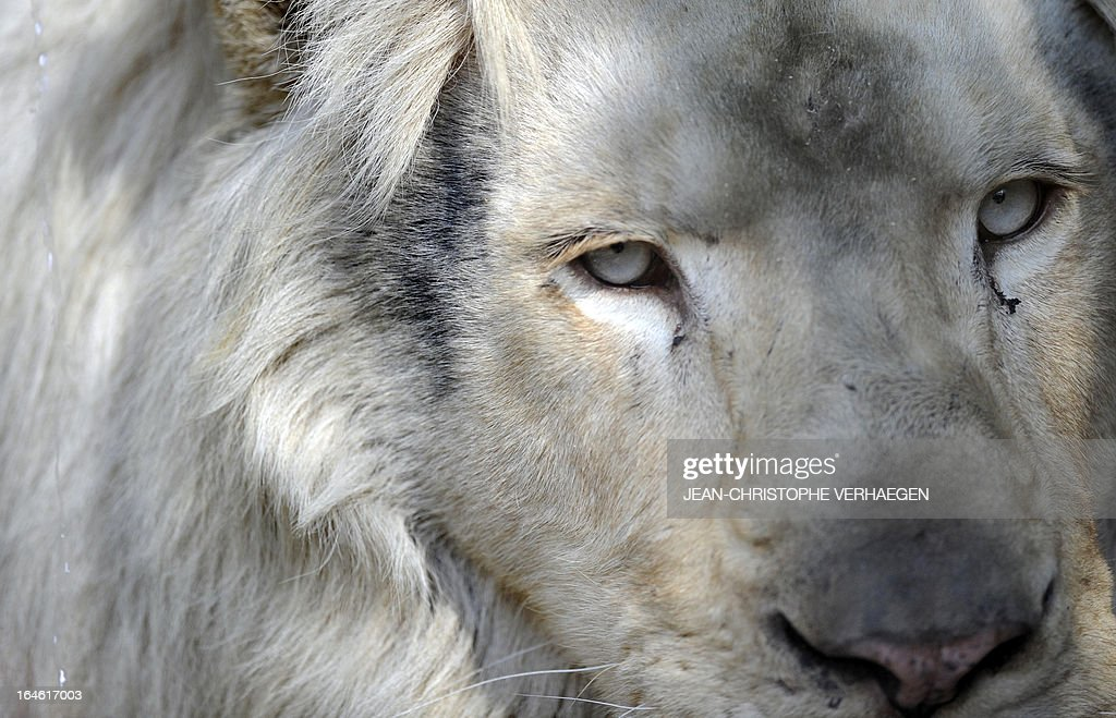 A white lion male sits on March 25, 2013 at a zoological park the eastern French city of Amneville. Three white lions, a 5-year-old male, a 4-year-old female and a female cub born in July 2012, arrived at the zoo a week ago. AFP PHOTO / JEAN-CHRISTOPHE VERHAEGEN