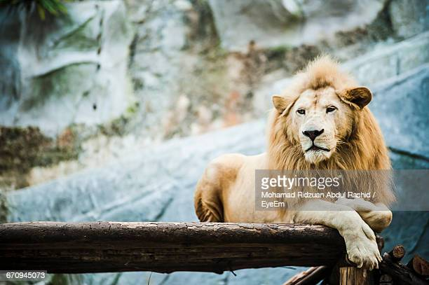 White Lion On Wood By Den