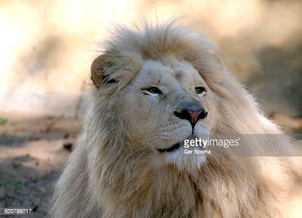 White Lion Potrait
