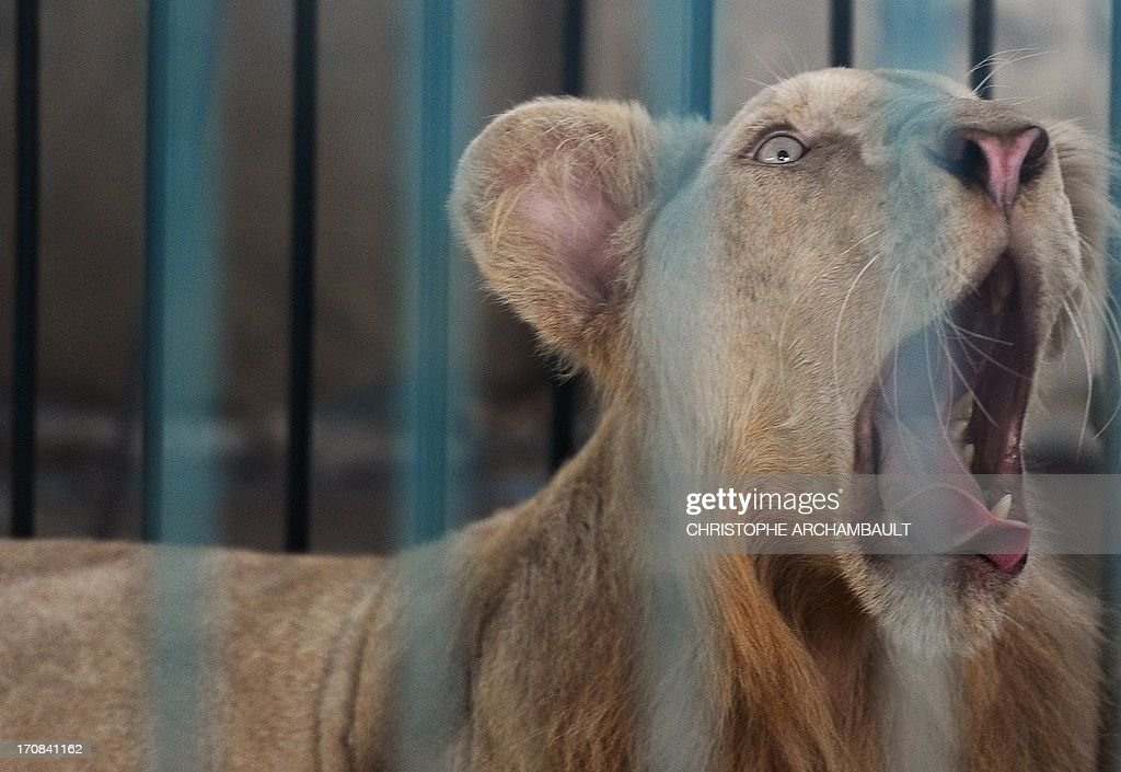 A white lion roars in a cage at a house where more than 200 live wild animals including 14 white lions were discovered last week, on the outskirts of Bangkok on June 19, 2013. Police said the lions were believed to have been brought into the country using permits for sales to zoos, but instead offered to private buyers. Thailand has a reputation as a hub of international wildlife smuggling to feed strong demand in Asia for unusual pets and traditional medicines made from animal parts. AFP PHOTO / Christophe ARCHAMBAULT