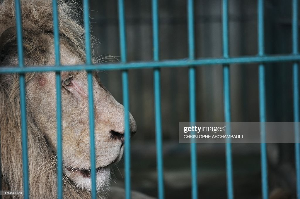 A white lion sits in a cage at a house where more than 200 live wild animals including 14 white lions were discovered last week, on the outskirts of Bangkok on June 19, 2013. Police said the lions were believed to have been brought into the country using permits for sales to zoos, but instead offered to private buyers. Thailand has a reputation as a hub of international wildlife smuggling to feed strong demand in Asia for unusual pets and traditional medicines made from animal parts. AFP PHOTO / Christophe ARCHAMBAULT