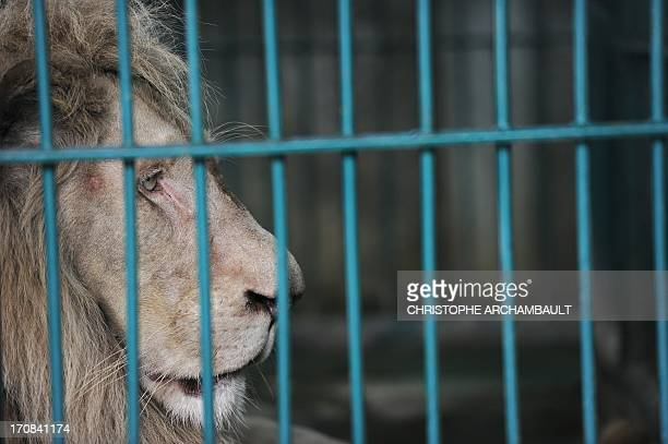 A white lion sits in a cage at a house where more than 200 live wild animals including 14 white lions were discovered last week on the outskirts of...