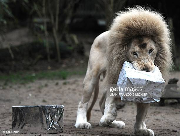 A white lion walks off with a wrapped Christmas package filled with food at the zoo in La Fleche western France on December 23 2014 AFP PHOTO /...