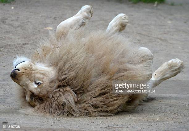 White lion Yabu plays at the zoo in La Fleche northwestern France on march 8 2016 / AFP / JEANFRANCOIS MONIER