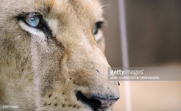 A white lioness is pictured at the zoological park of the eastern French city of Amneville on April 17 2015 AFP PHOTO / JEANCHRISTOPHE VERHAEGEN