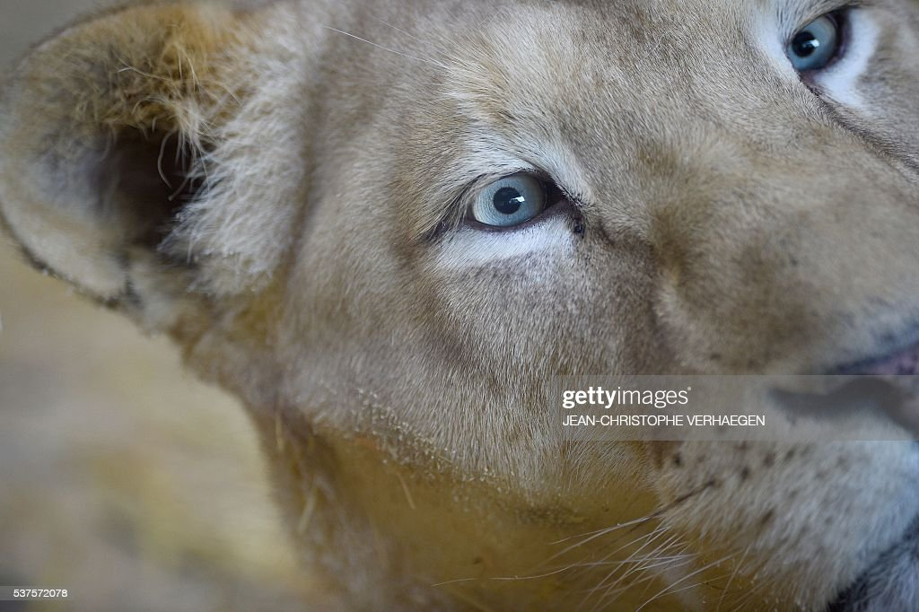 A white lioness is pictured on June 2 2016 at the zoological park of Amneville western France / AFP / JEANCHRISTOPHE VERHAEGEN