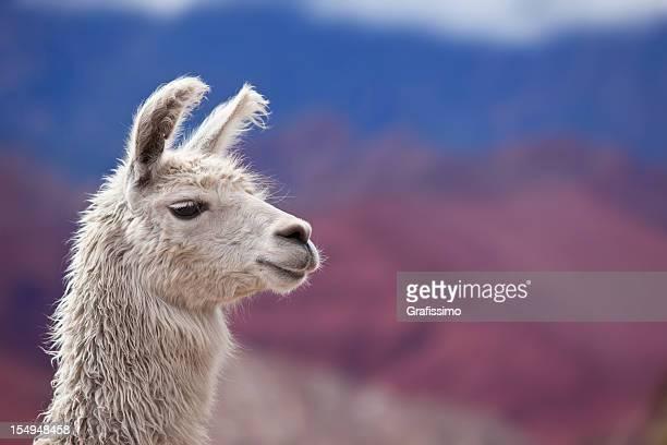 White llama in argentina south america