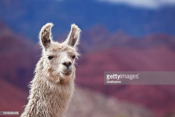 White llama in argentina south america Salta province