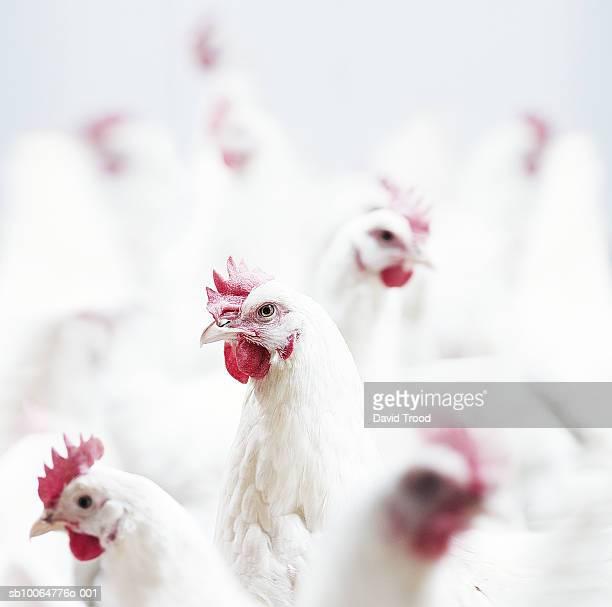 White Lohmann hens, close-up, differential focus