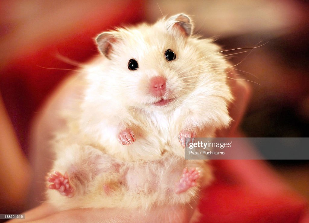 White longhaired syrian hamster : Stock Photo