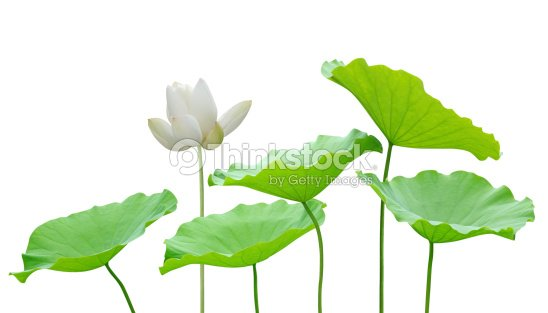 White Lotus Flower And Leaves Stock Photo Thinkstock