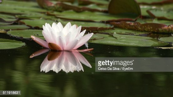 White lotus flower in pond stock photo getty images white lotus flower in pond stock photo mightylinksfo