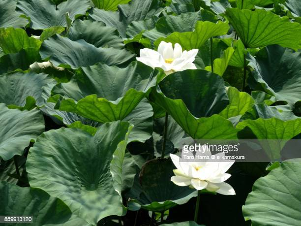 A white lotus flower on ponds in Kamakura city in Kanagawa prefecture in Japan in summer