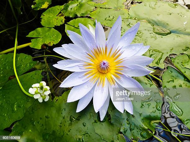 White lotus water lily lily pads in pond