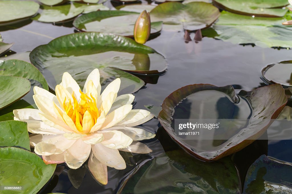 White lotus with the leaf : Stock Photo